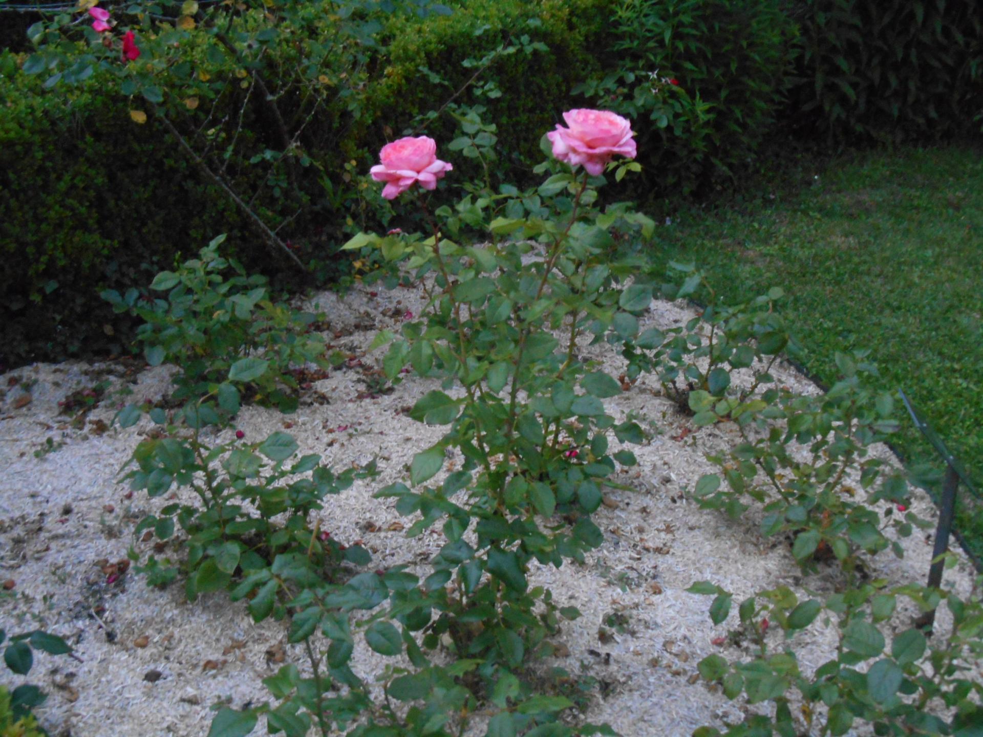 La rose Jean de La Fontaine